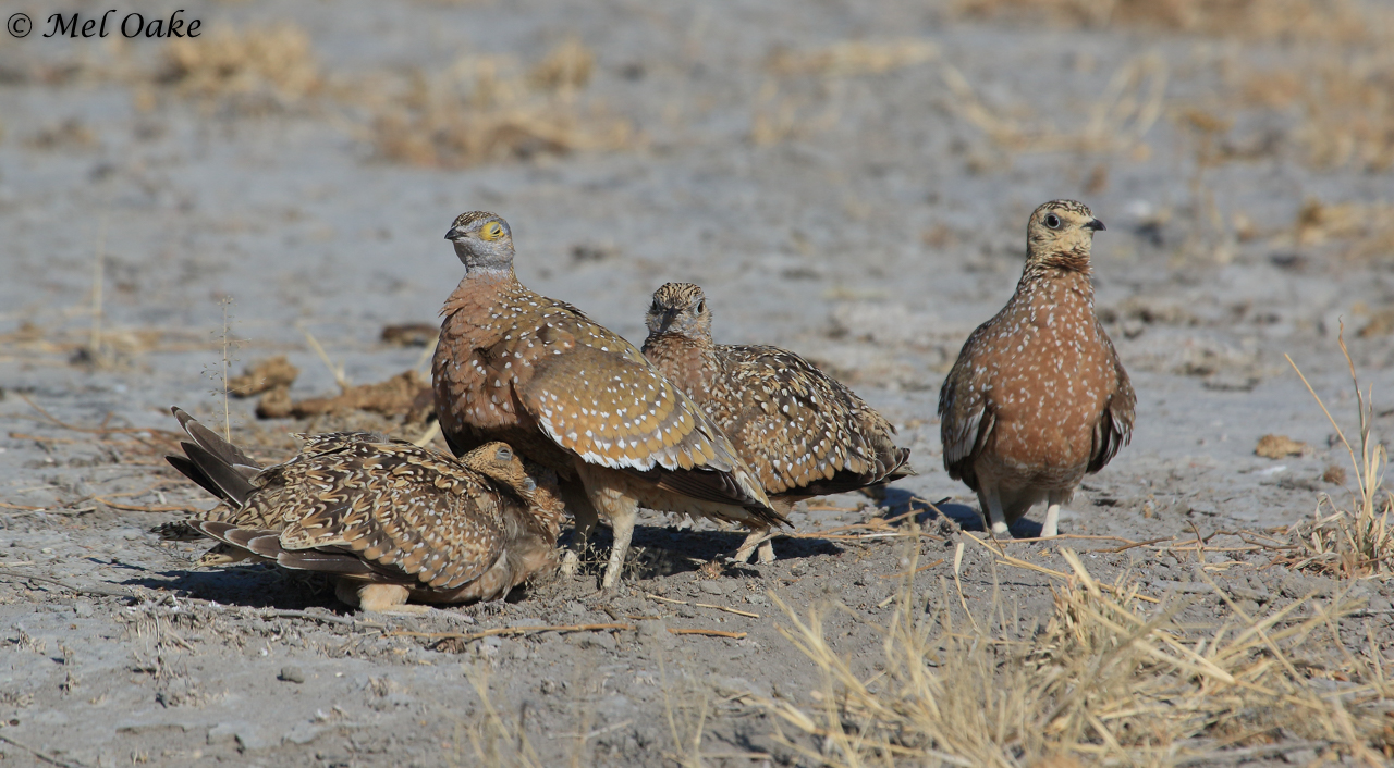 Family of Burchell's Sandgrouse male wirh large chicks drinking water from the Male - Photo courtesy of Mel Oake
